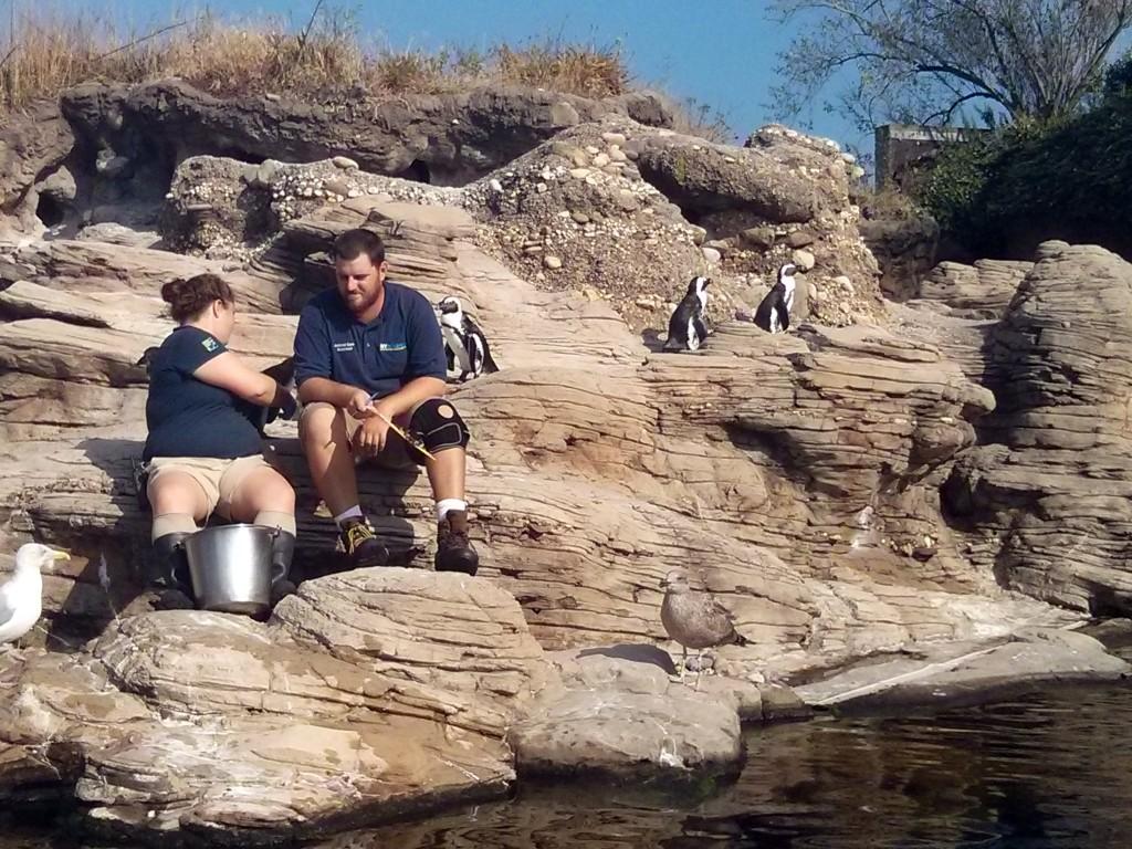 Pinguine im New York Aquarium