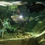 Piranhas im New York Aquarium