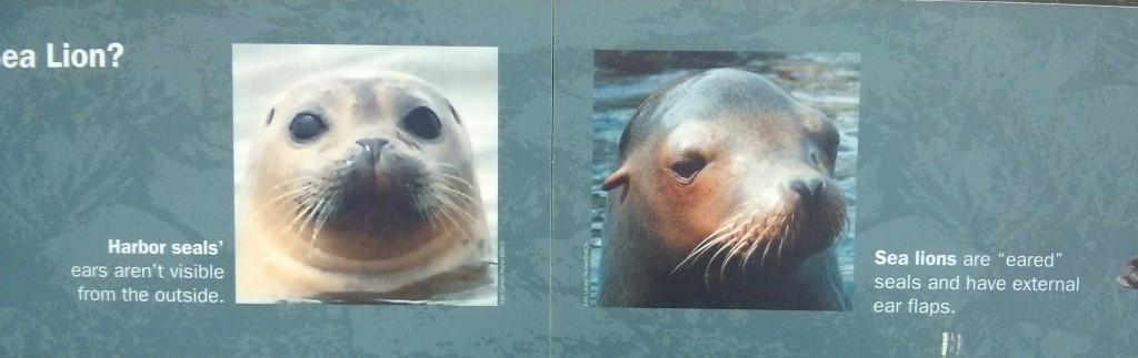 Seehund oder Seelöwe