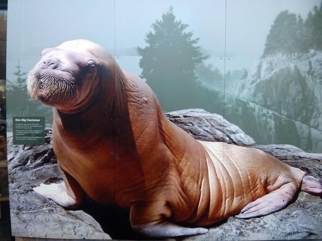 Walross im New York Aquarium
